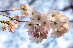 Cherry Blossom Splendor Lizenzfreie Stockfotos