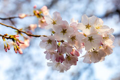 Cherry Blossom Splendor Royalty-vrije Stock Foto's