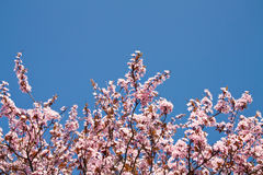 Cherry Blossom in Spring Royalty Free Stock Images