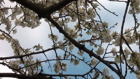 Cherry Blossom In Spring 02 stock footage