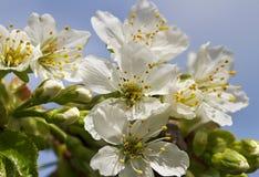 Cherry blossom. Royalty Free Stock Photo