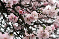 Cherry blossom - spring Royalty Free Stock Images