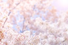 Cherry blossom in spring for background or copy space for text Royalty Free Stock Photos