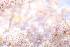 Cherry blossom in spring for background or copy space for text Stock Images