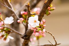 Cherry blossom in spring for background or copy space for text.  stock photos