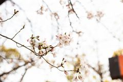 Cherry blossom in spring for background or copy space for text.  stock photo
