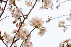 Cherry blossom in spring for background or copy space for text.  royalty free stock photos