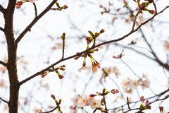 Cherry blossom in spring for background or copy space for text.  royalty free stock images