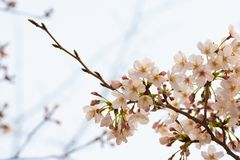 Cherry blossom in spring for background or copy space for text.  royalty free stock photography
