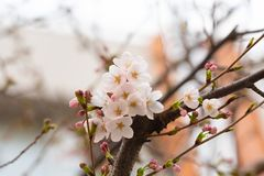 Cherry blossom in spring for background or copy space for text.  stock images