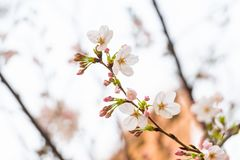 Cherry blossom in spring for background or copy space for text.  royalty free stock image