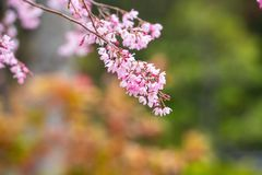 Cherry blossom in spring for background or copy space for text.  royalty free stock photo