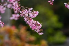 Cherry blossom in spring for background or copy space for text.  stock photography
