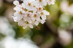 Cherry blossom in spring for background or copy space for text.  stock image