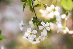 Cherry blossom in spring for background royalty free stock photo
