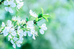 Cherry Blossom. Spring cherry blossom in a beautiful day royalty free stock photo