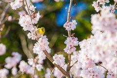 Cherry blossom in spring with a bird. Stock Photography