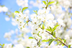 Cherry blossom. Spring blossom background. Blossom tree. Summer print. Spring print. Cherry flowers. Cherry tree branch Stock Image