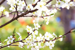 Cherry blossom. Spring blossom background. Blossom tree. Summer print. Spring print. Cherry flowers. Cherry tree branch Stock Photos