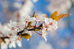 Cherry blossom. In spring on blue background royalty free stock image