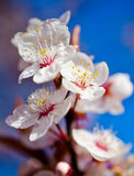 Cherry blossom. In spring on blue background royalty free stock photo