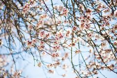 Cherry blossom in spring blue sky background royalty free stock photo
