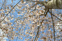 Cherry blossom in spring on branches. With blue sky Royalty Free Stock Images