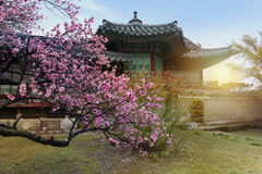 Cherry Blossom in spring at Changdeokgung Palace,. South Kore royalty free stock images