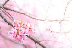 Cherry Blossom in spring stock photography