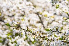 Cherry blossom spring Stock Photos