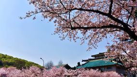 Cherry Blossom in spring. Flowering cherry blossom in Wuhan University, China Stock Photography