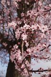 Cherry Blossom, Spring, Flowers Royalty Free Stock Photography