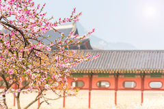 Cherry blossom in spring of Gyeongbokgung Palace in seoul,korea. Cherry blossom in spring of Gyeongbokgung Palace in seoul,korea royalty free stock photography