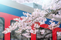 Cherry blossom in spring. Jinhae Gunhangje Festival is the largest cherry blossom festival in South Korea Royalty Free Stock Photos