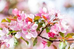 Cherry blossom spring landscape. Blossoming pink petals fruit tree branch. stock image