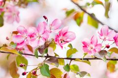 Cherry blossom spring landscape. Blossoming pink petals fruit tree branch. royalty free stock images