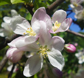 Cherry blossom in the spring orchard Royalty Free Stock Photography