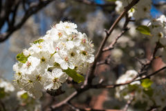 Cherry blossom. Spring cherry blossom in a park Stock Photography