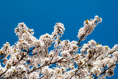 Cherry blossom. Spring cherry blossom in a park Stock Images