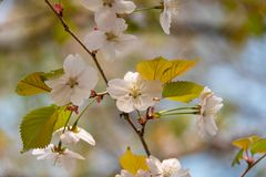 Cherry blossom in spring in the park. Close up stock images