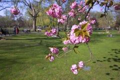 Cherry blossom in a spring park Stock Photos
