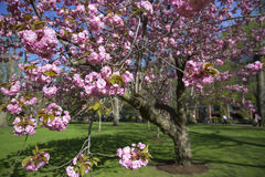 Cherry blossom in a spring park Royalty Free Stock Photos