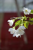 Cherry blossom in spring Stock Image