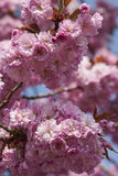 Cherry Blossom in spring Stock Images