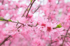 Cherry blossom in spring season Stock Image