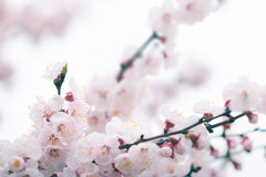 Cherry blossom in spring with soft focus Stock Image