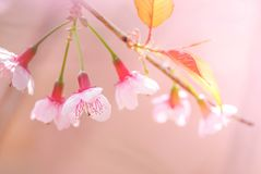 Cherry Blossom in spring with soft focus. Unfocused blurred spring cherry bloom, bokeh flower background, pastel and soft flower background royalty free stock images
