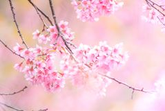 Cherry Blossom in spring with soft focus royalty free stock photo