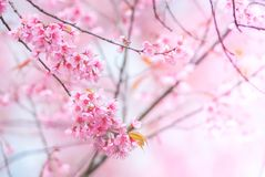 Cherry Blossom in pink royalty free stock photos