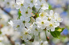 Cherry blossom. Spring sunny blooming cherry orchard Royalty Free Stock Photo